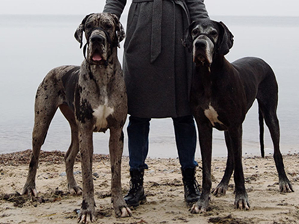 Two great danes stood with owner