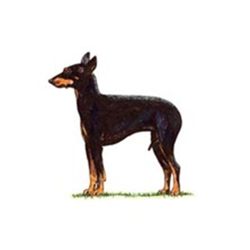 English Toy Terrier (Black and Tan) illustration