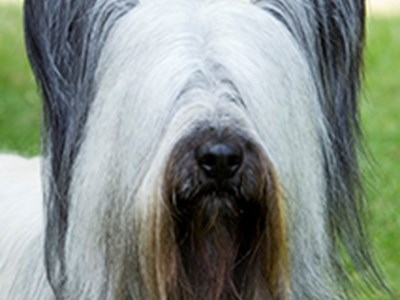 Skye Terrier headshot