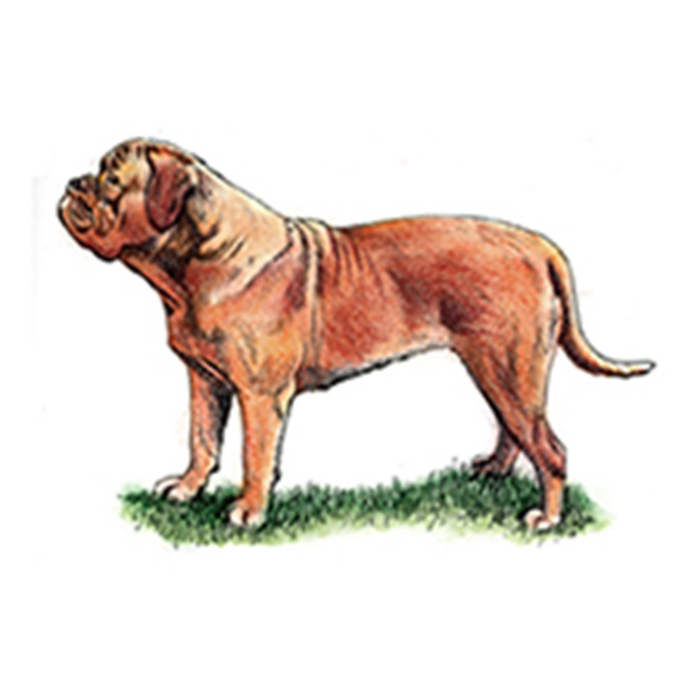 Dogue de Bordeaux illustration