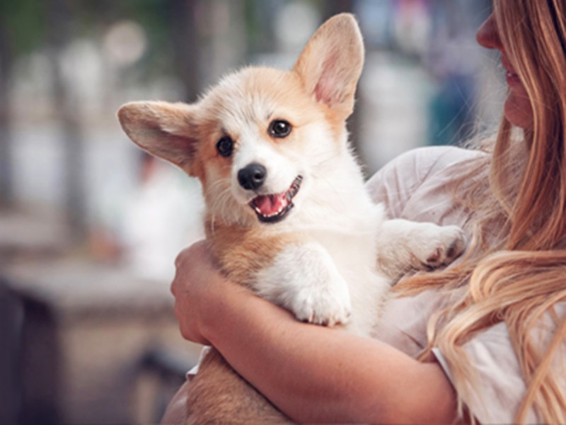 Pembroke Cardigan Corgi in arms of blonde lady