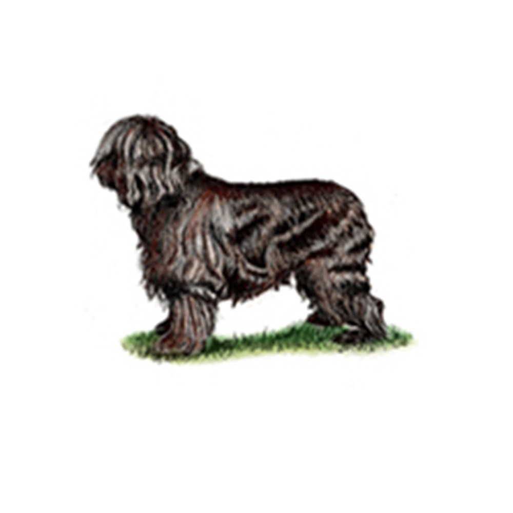 Briard illustration