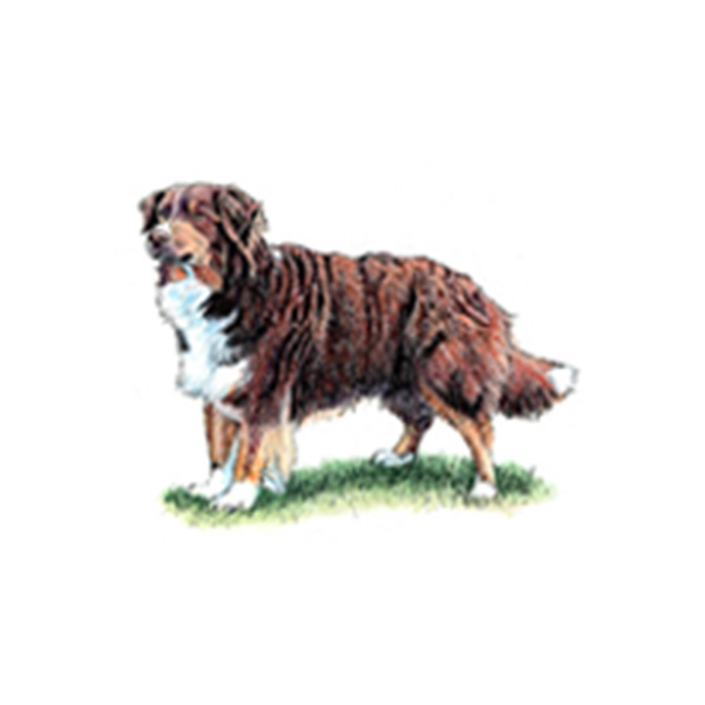 Australian Shepherd illustration