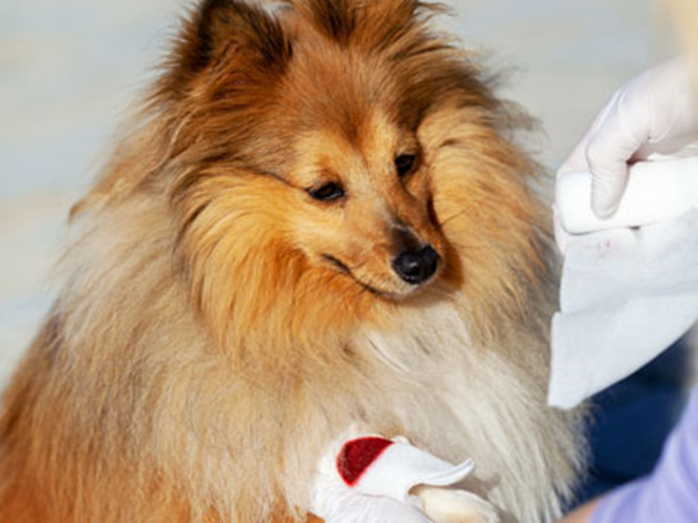 Collie with arm being attended to as it has blood on it
