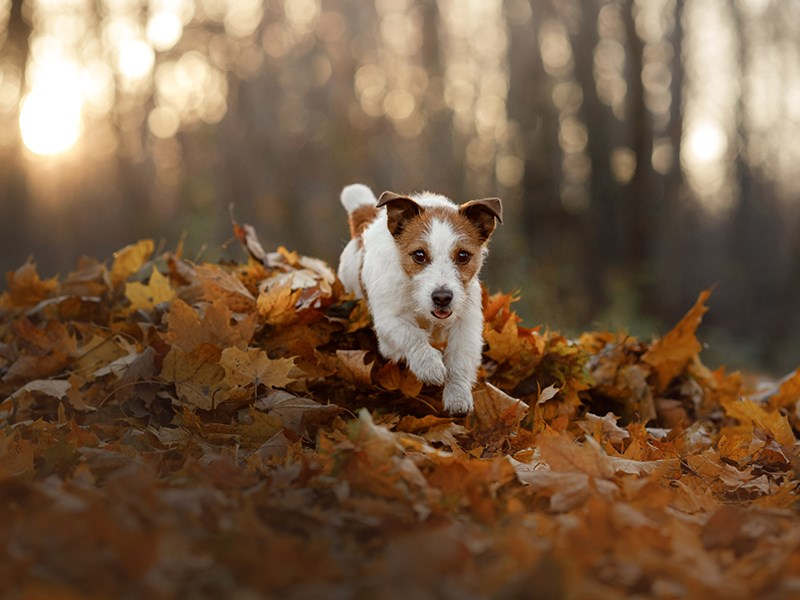 Jack Russell in leaves