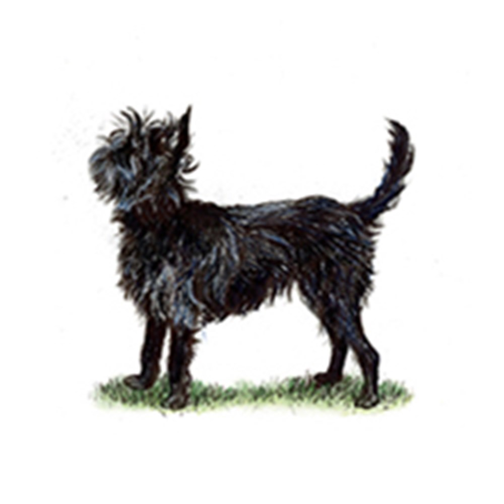 Affenpinscher illustration
