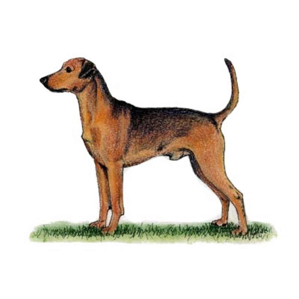 German Pinscher illustration