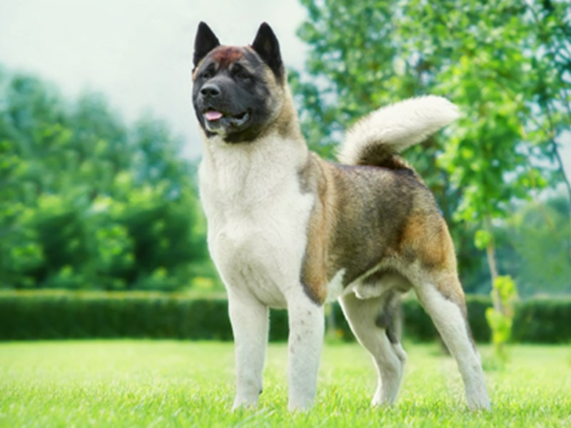 Akita stood outside on grass