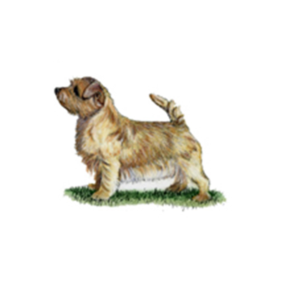 Norfolk Terrier illustration