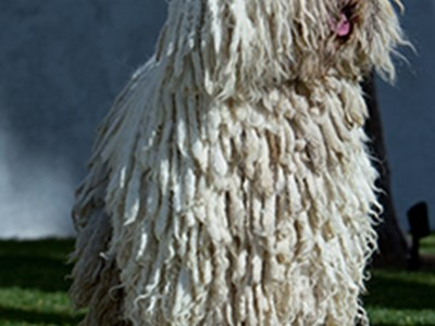 Komondor headshot