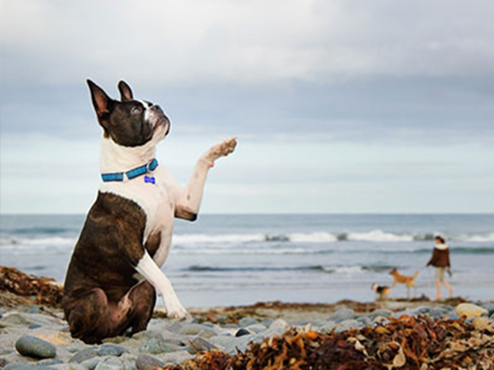 Boston terrier sitting down with a paw in the air