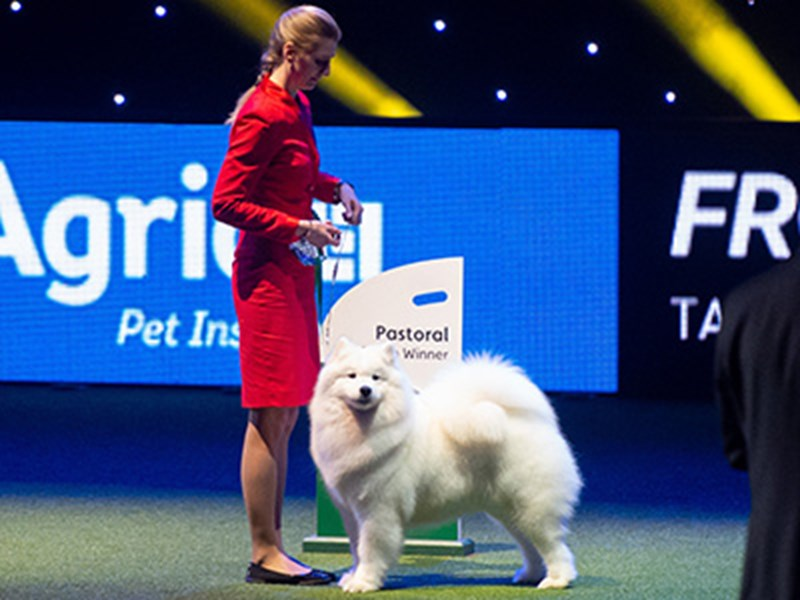 White dog being shown at Crufts by a lady in a red outfit