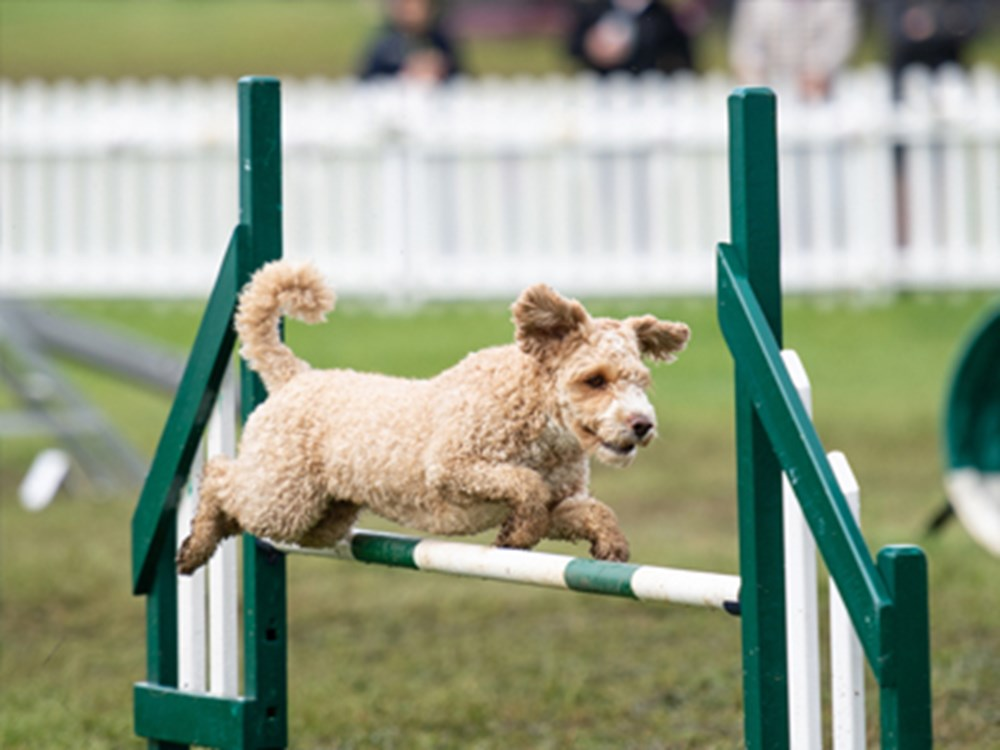 Dog jumping over jump