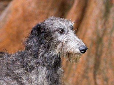 Deerhound headshot