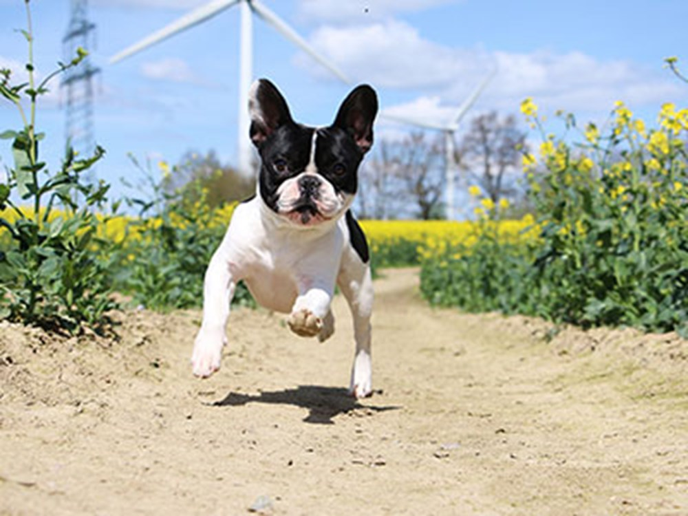 Boston Terrier running through the fields