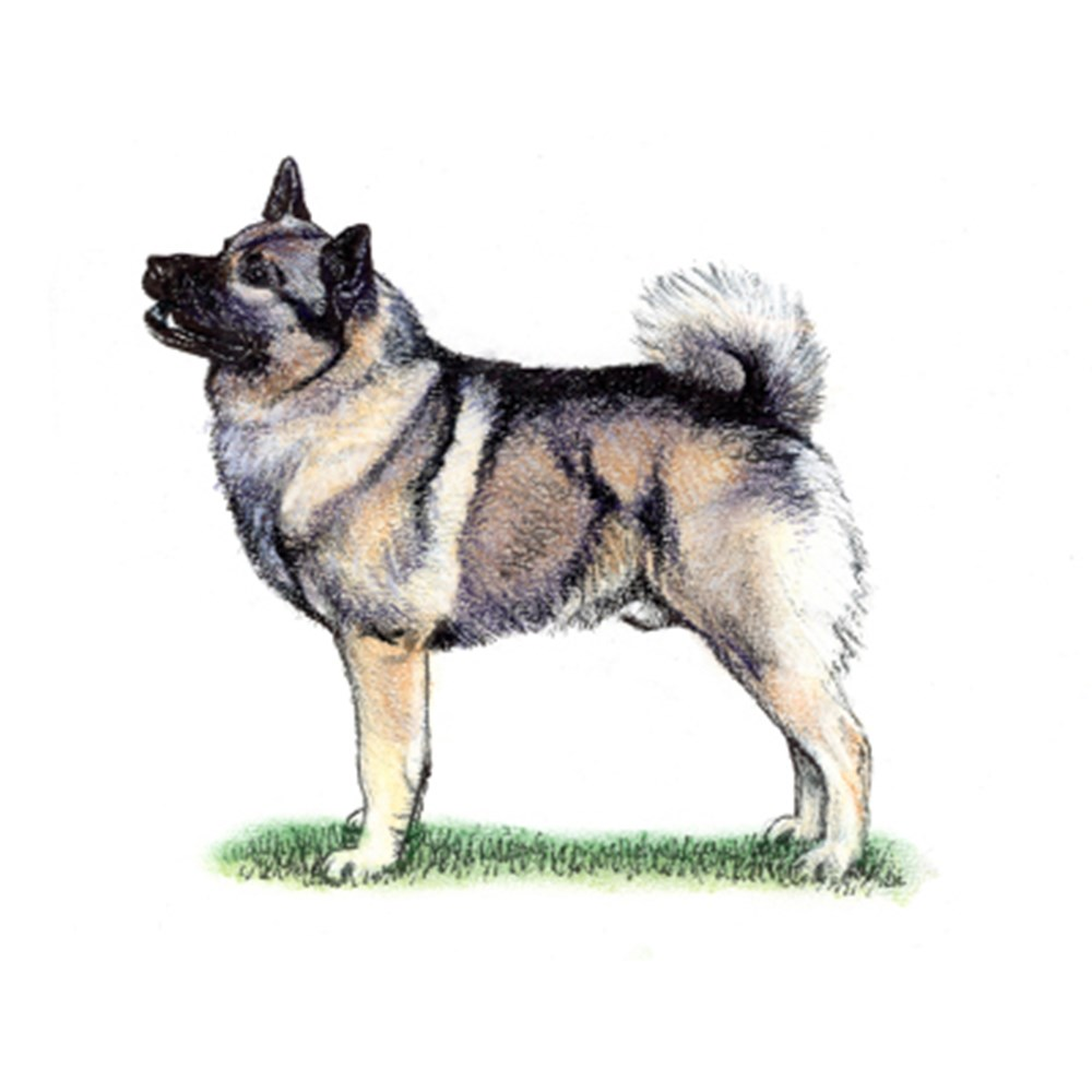 Norwegian Elkhound illustration