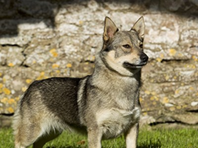 Swedish Vallhund standing