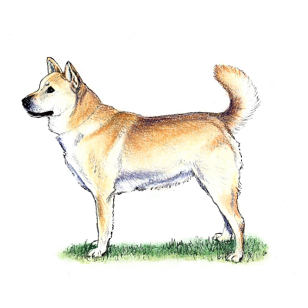 Korean Jindo illustration