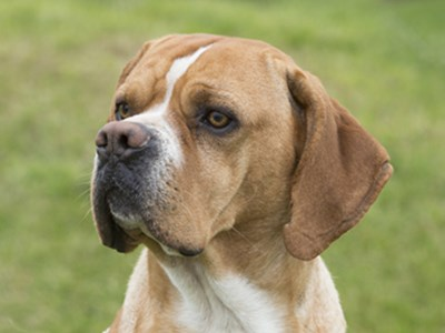 Portuguese Pointer headshot