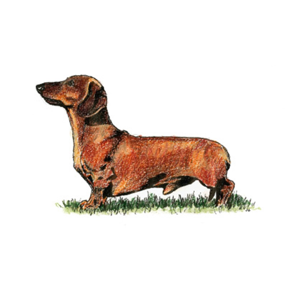 Dachshund (Miniature Smooth Haired) illustration