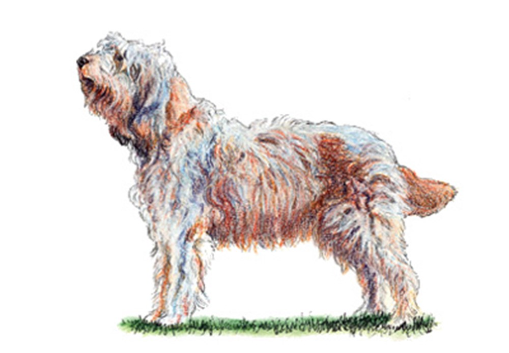 Otterhound illustration