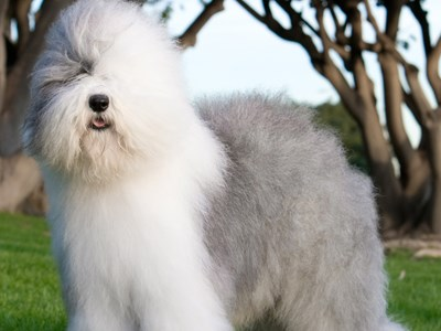 Old English Sheepdog standing