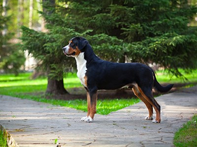 Great Swiss Mountain Dog standing