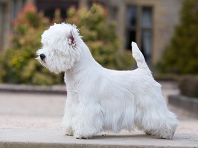West Highland White Terrier standing