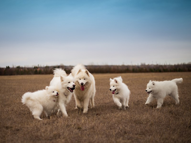 5 fluffy white dogs outdoors in a field