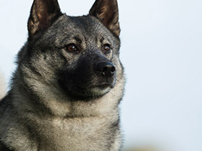 Norwegian Elkhound headshot