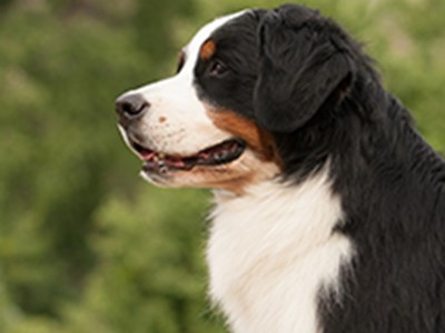 Bernese Mountain Dog headshot