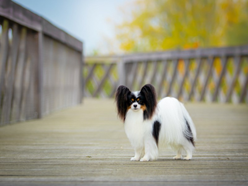 Small fluffy dog standing on a wooden bridge