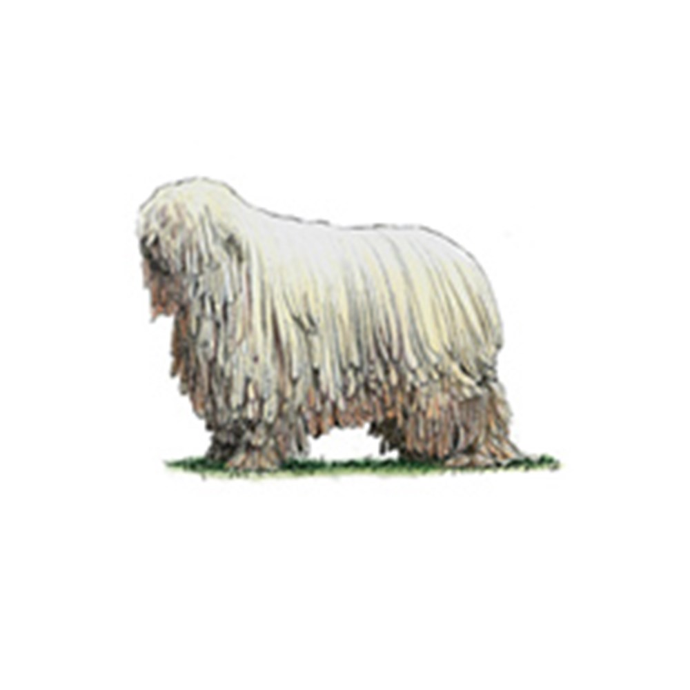 Komondor illustration