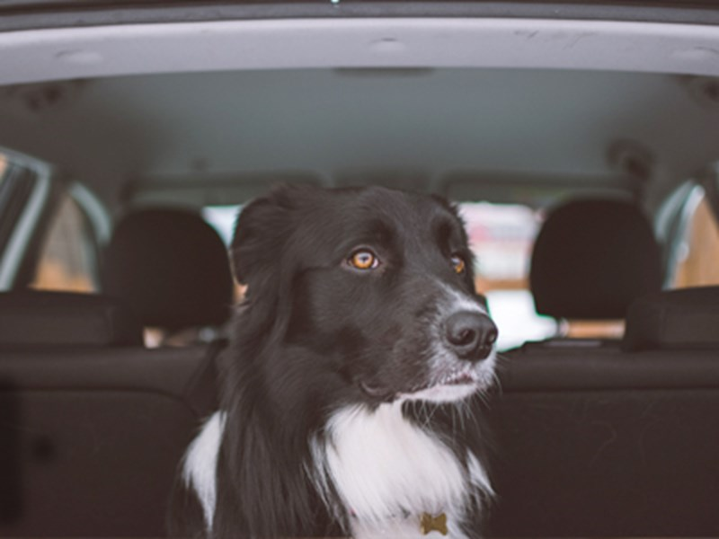 Border Collie sat in car