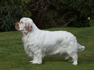 Spaniel (Clumber) standing