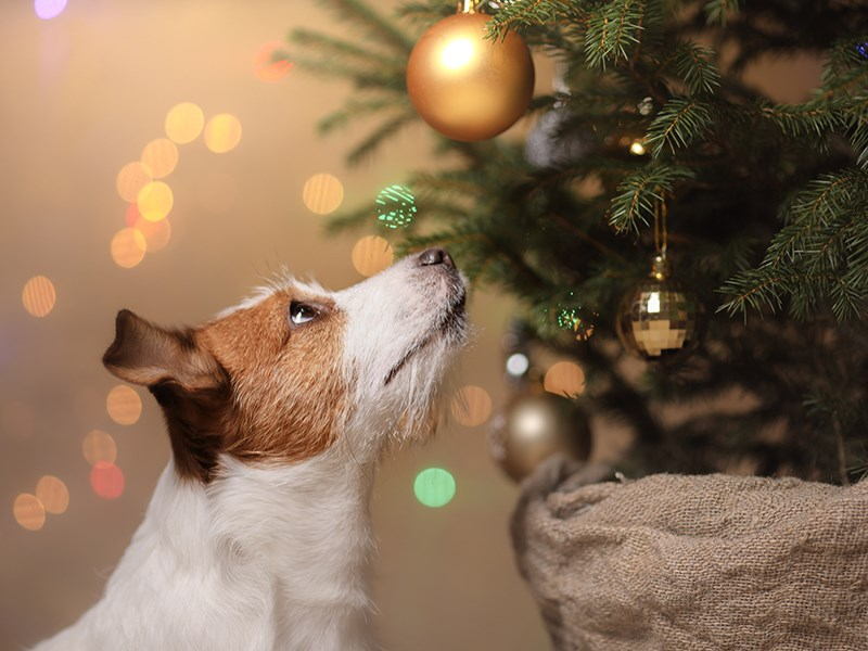 Jack Russell looking at baubles on a Christmas tree