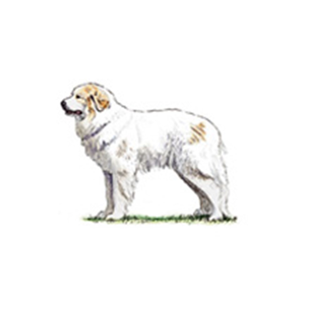 Pyrenean Mountain Dog illustration
