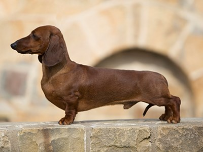 Dachshund (Miniature Smooth Haired) standing