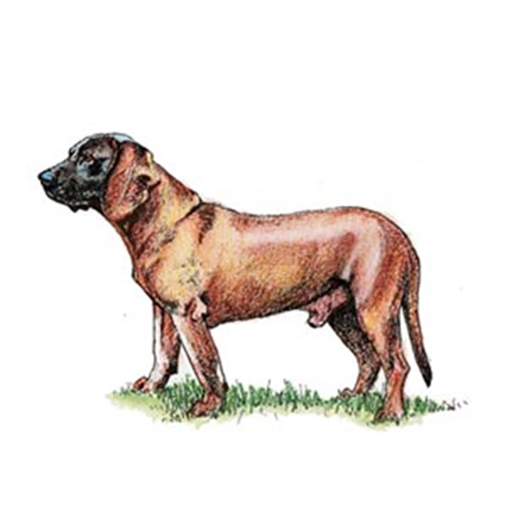 Bavarian Mountain Hound illustration