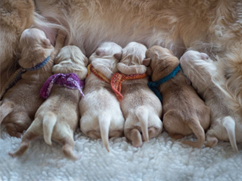 Puppies with identification collars sat drinking milk from mum