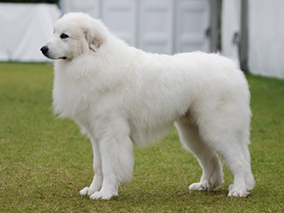 Pyrenean Mountain Dog standing