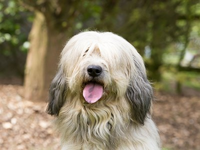 Catalan Sheepdog headshot