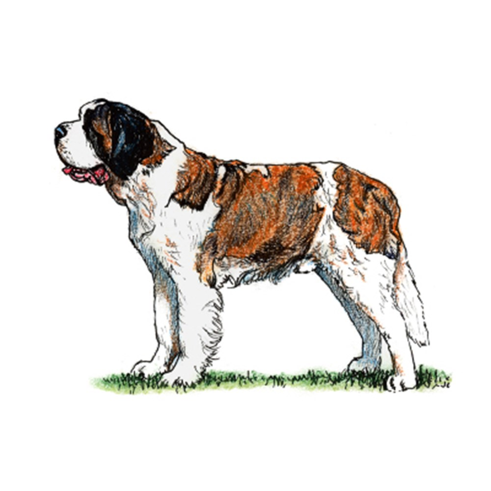 St. Bernard illustration