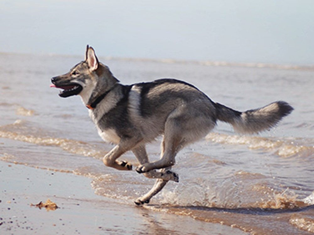 Dog running to the sea