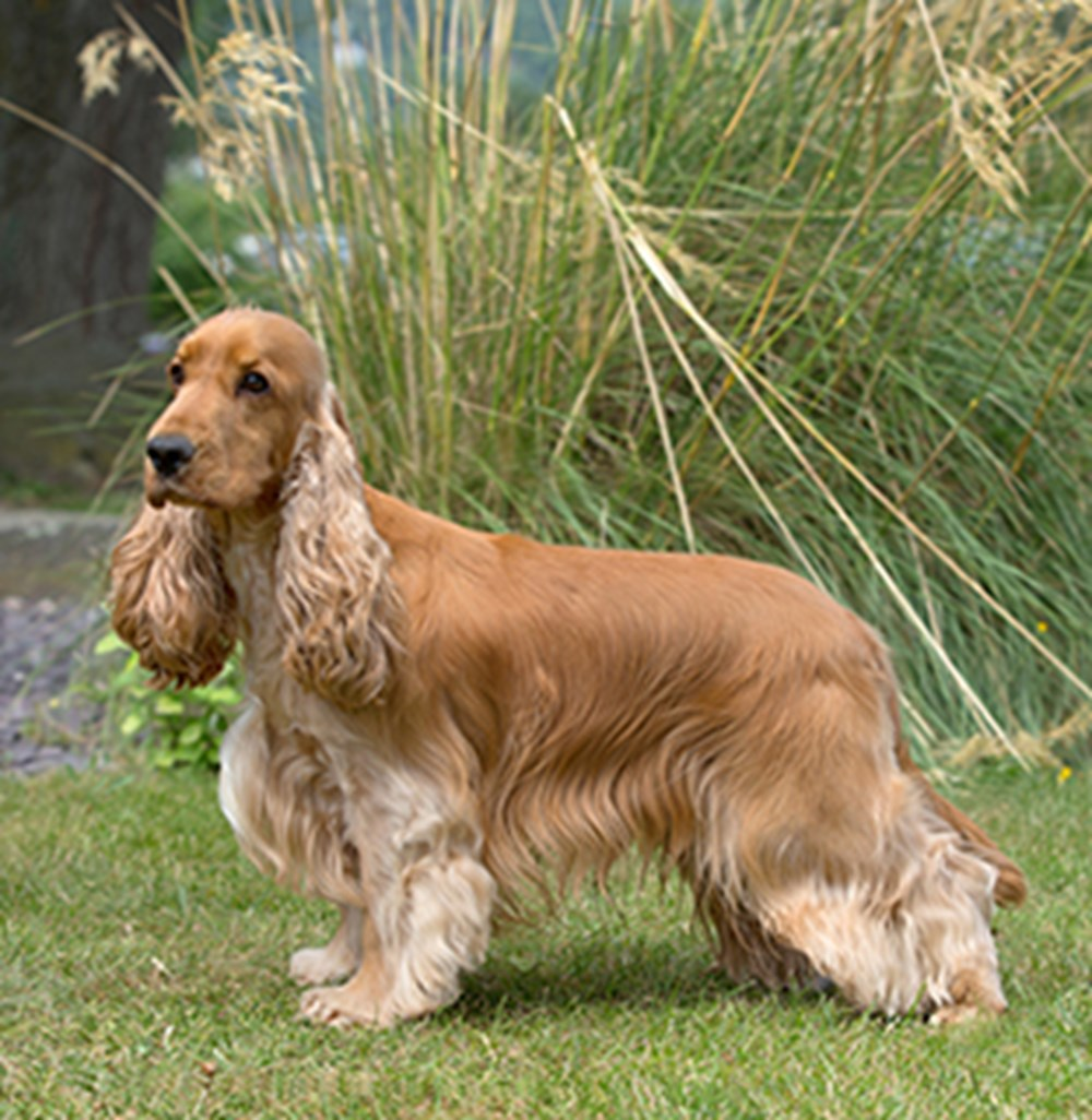 Spaniel Cocker Breeds A To Z The Kennel Club