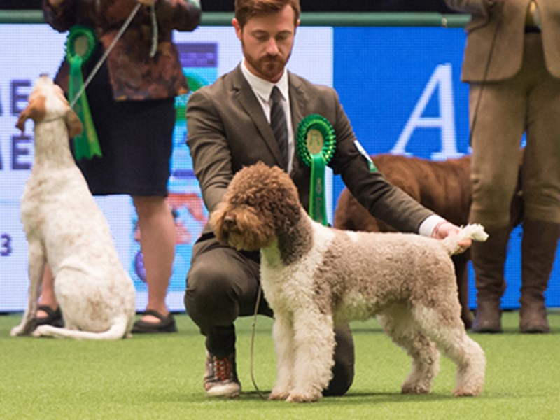 A Lagotto Romagnolo being shown at Crufts