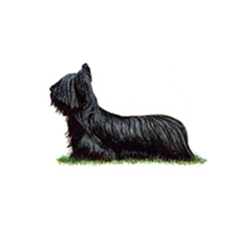 Skye Terrier illustration