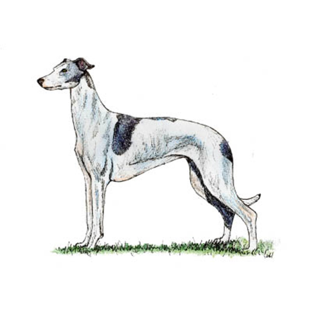 Greyhound illustration