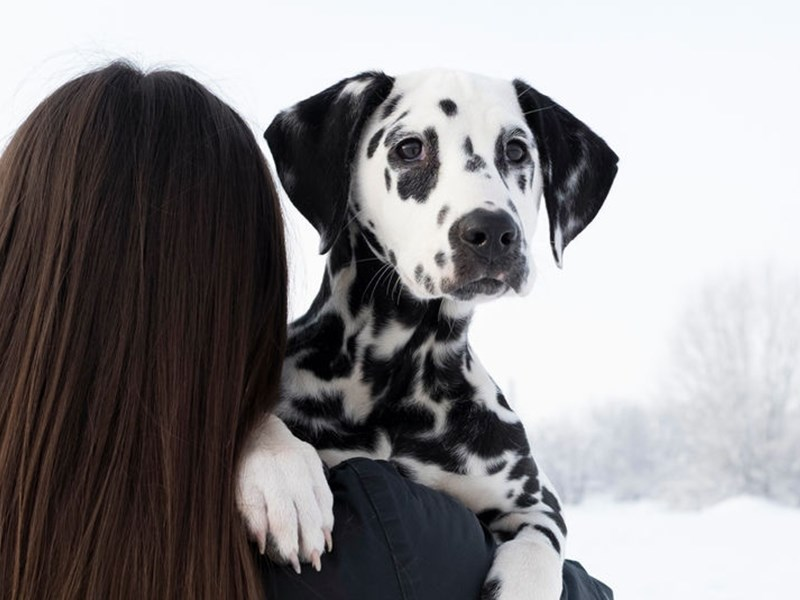 Dalmatian looking over the shoulder of brunette girl