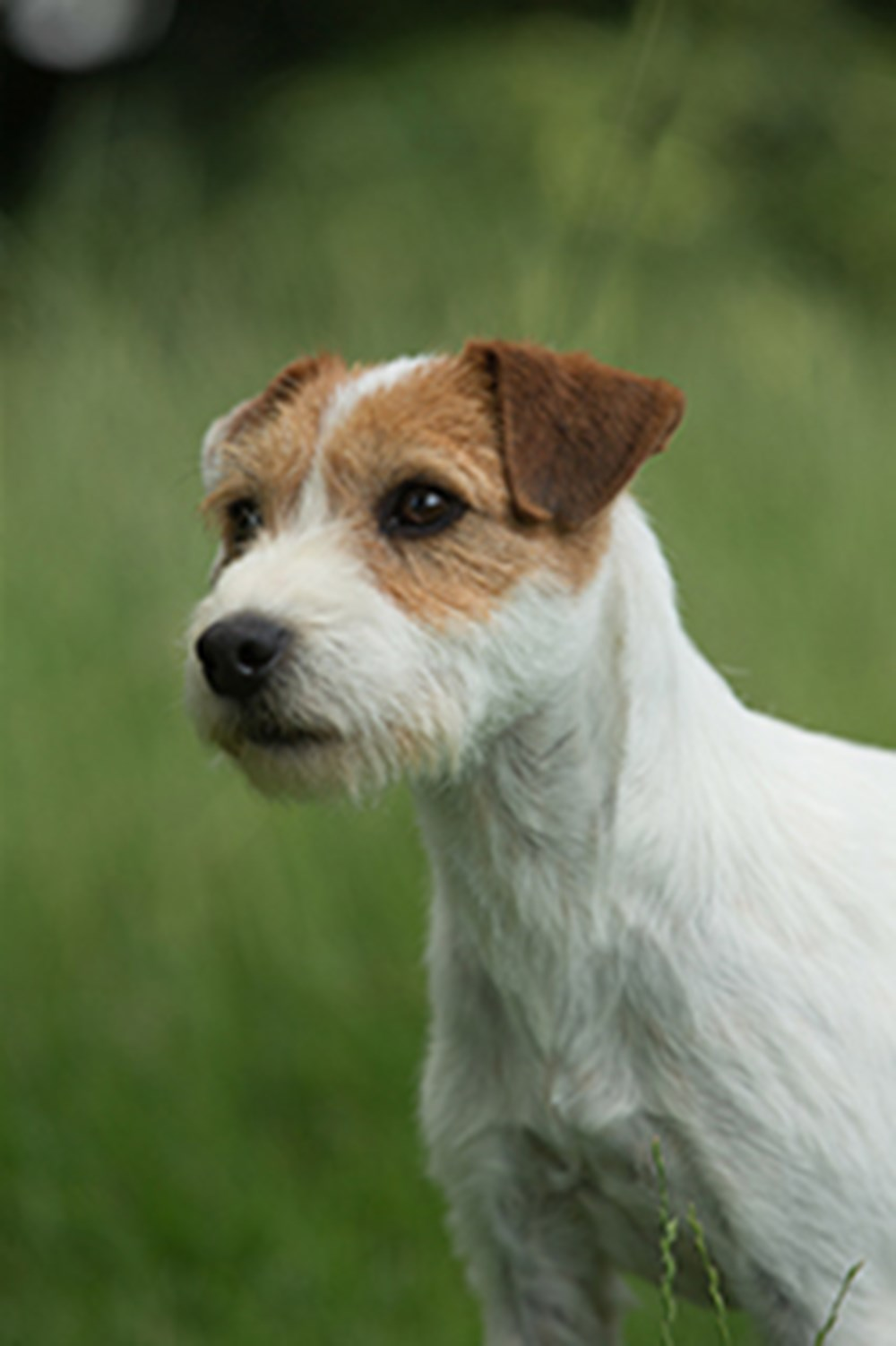 Parson Russell Terrier   Breeds A to Z   The Kennel Club